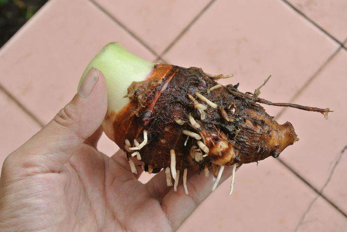 Taro Plant Close-up Day Food Food And Drink Freshness Healthy Eating Hermit Crab Holding Human Body Part Human Finger Human Hand Lifestyles One Person Outdoors People Ready-to-eat Real People Taro Taro Root Unrecognizable Person