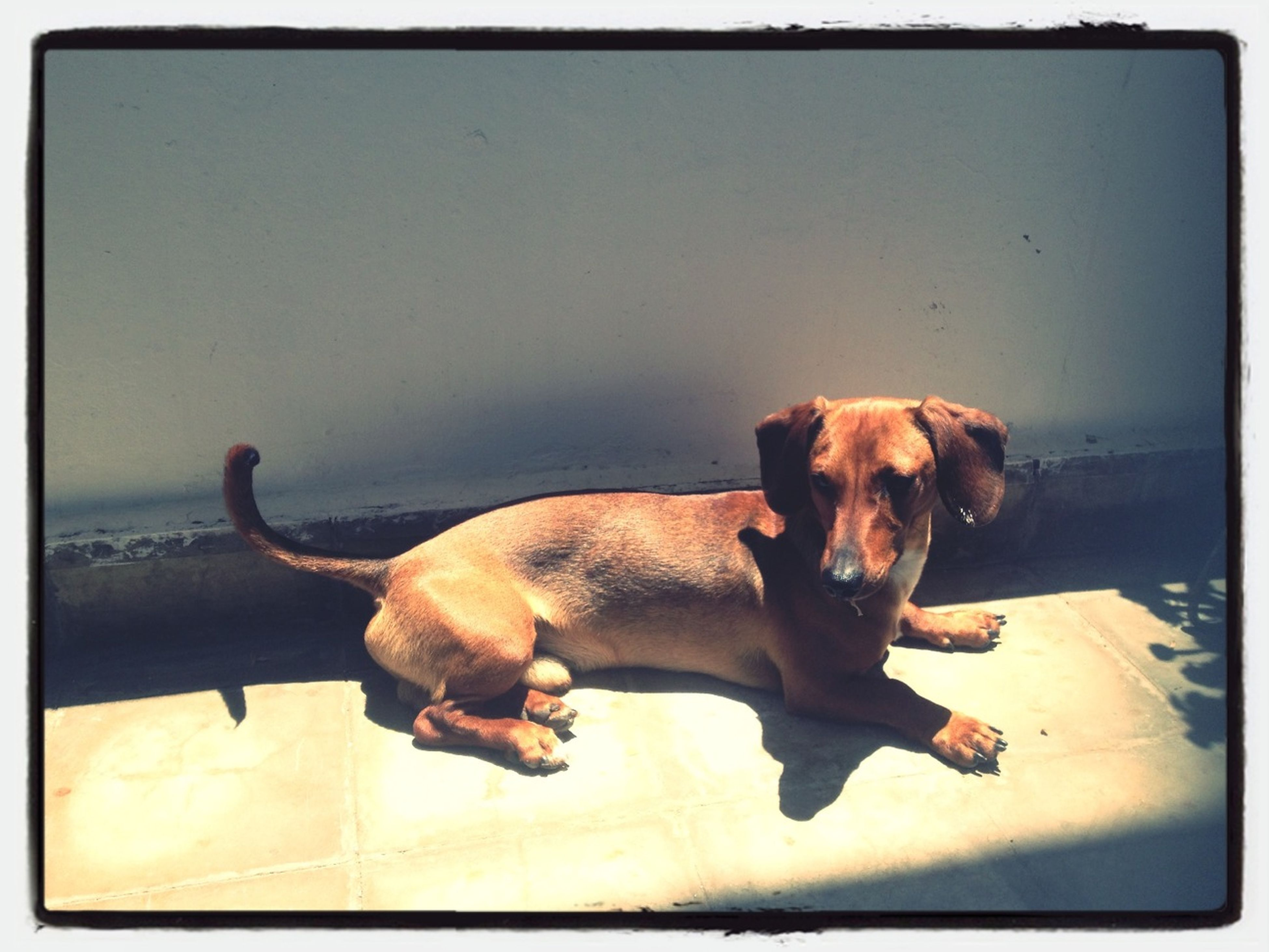 domestic animals, animal themes, pets, mammal, transfer print, one animal, dog, auto post production filter, relaxation, indoors, full length, brown, lying down, copy space, sitting, no people, zoology, portrait, looking at camera, pet collar