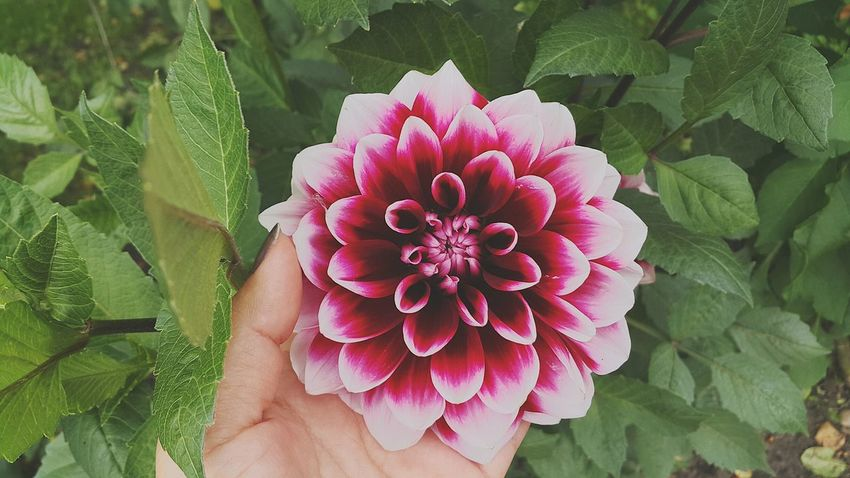 Flower Plant Nature Human Body Part Outdoors Beauty In Nature Petal Close-up Day Leaf Flower Head Pink Color Lifestyles Human Hand folow top Grn Freedom Reshasuper Freshness Plant Nature Freshness Fragility Adult People One Person