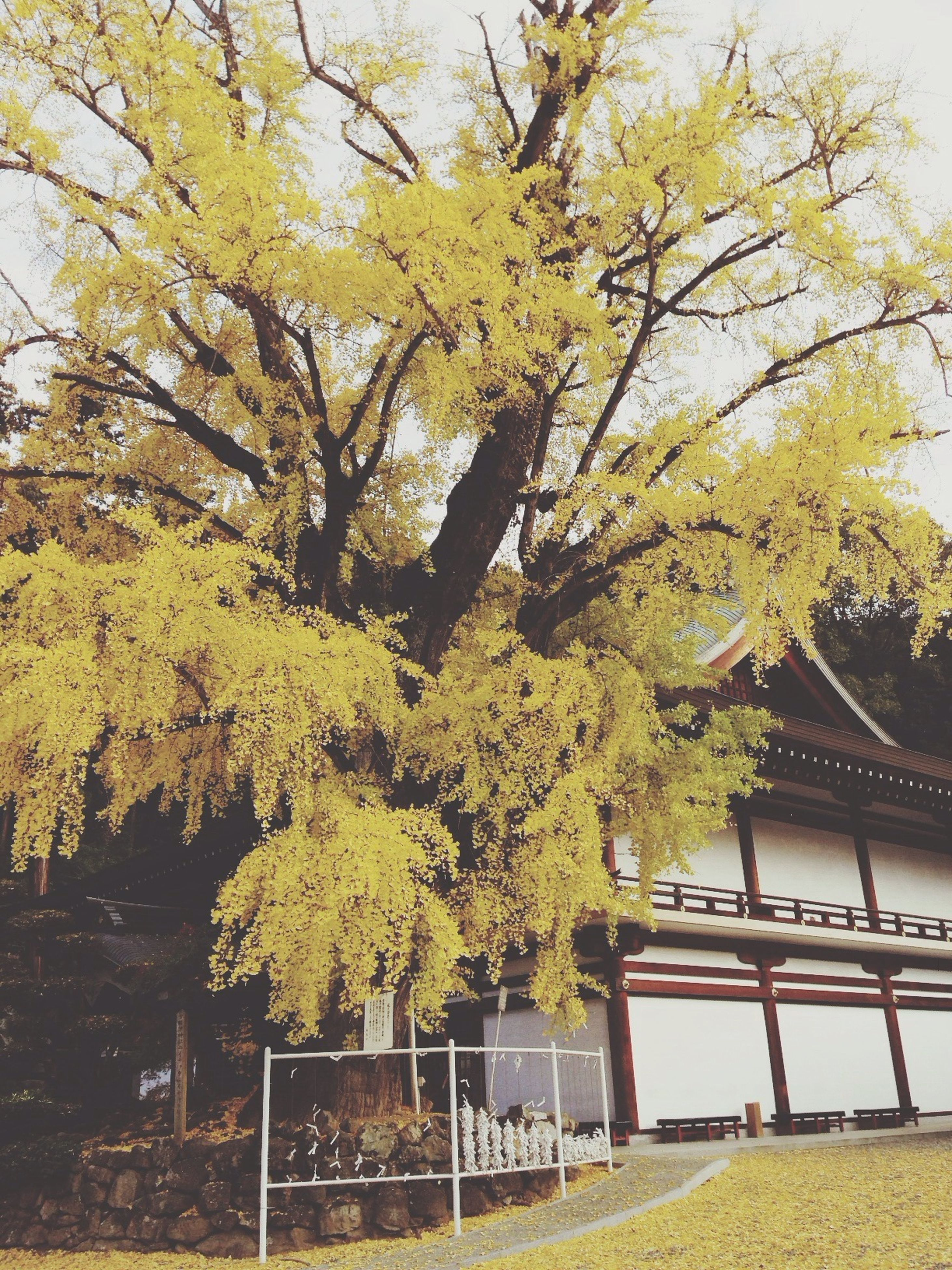 tree, low angle view, built structure, branch, growth, architecture, building exterior, yellow, house, nature, window, leaf, day, autumn, sunlight, clear sky, no people, plant, outdoors, ivy