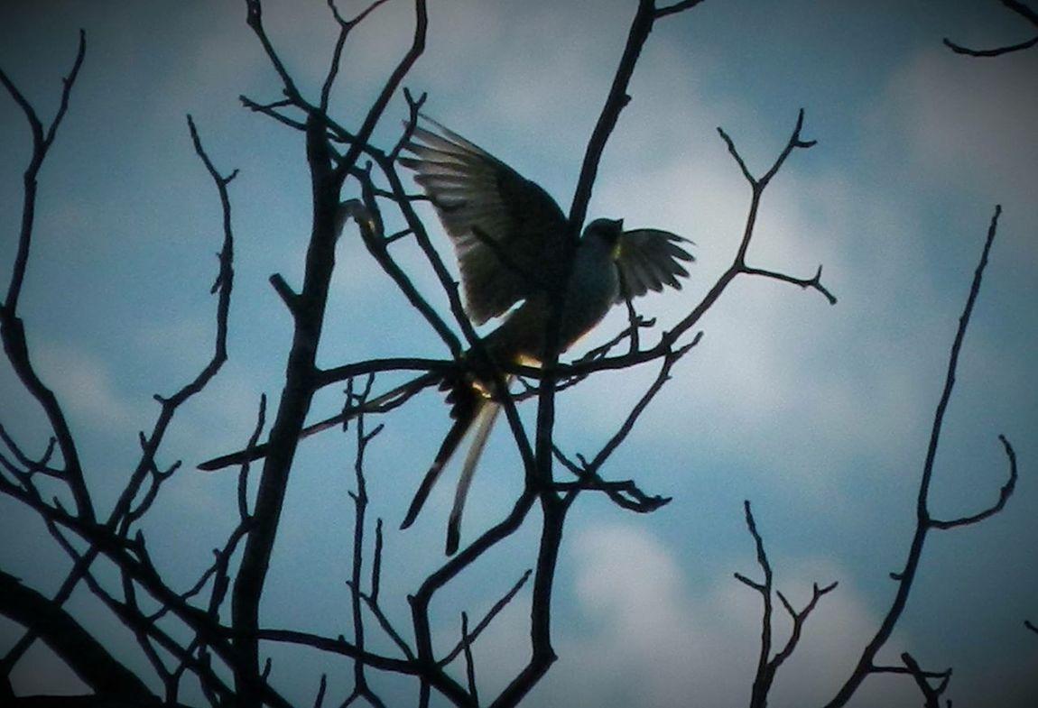 Capture The Moment Scissortail Scissor-tailed Flycatcher