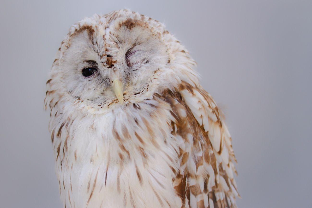 Wink White Owl Bird EyeEm Birds EyeEm Animal Lover Cute Animals Zoo Animals  EyeEm Gallery Capture The Moment