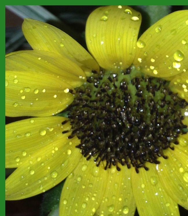 Yellow Flower At Night Flowers At Night Sunflower🌻