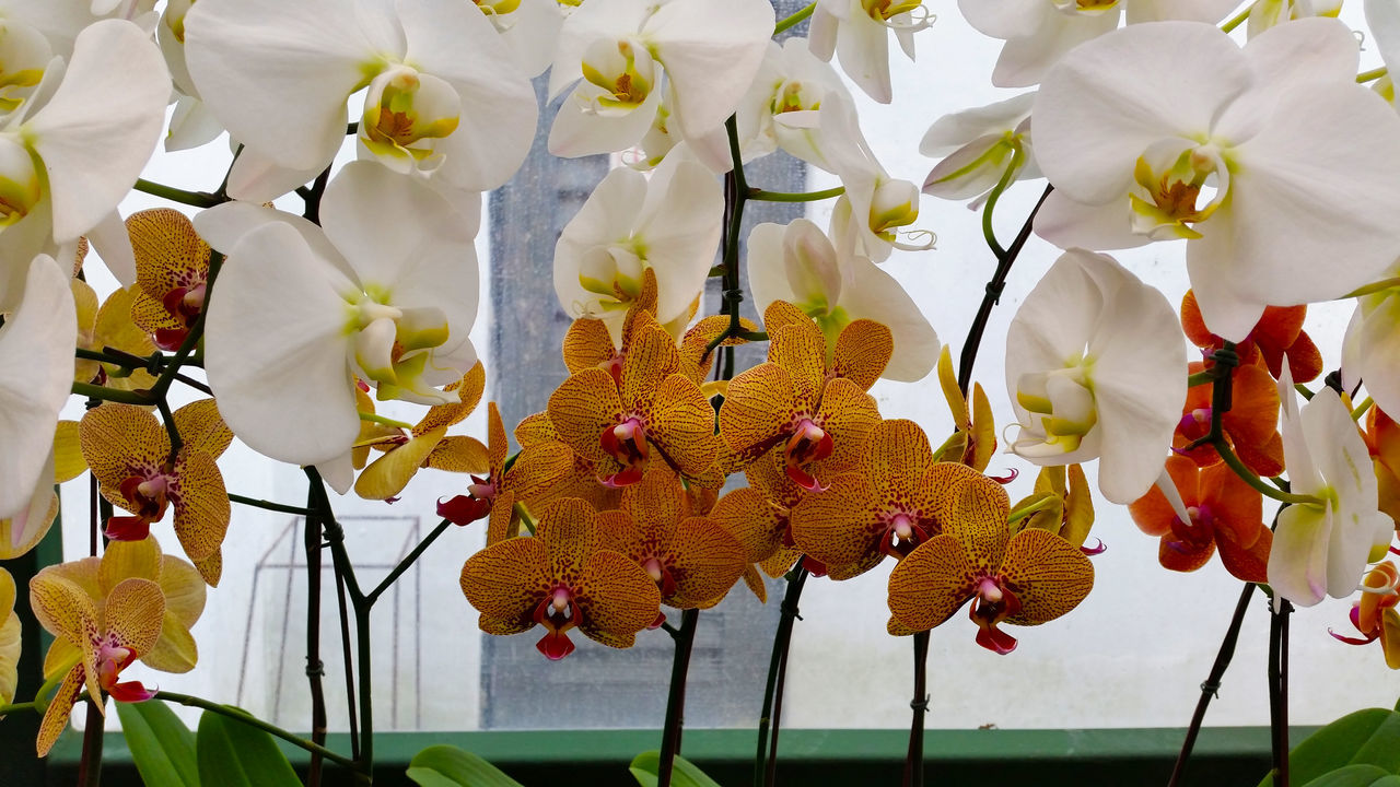 Beautiful stock photos of orchid, Beauty In Nature, Day, Flower, Flower Head