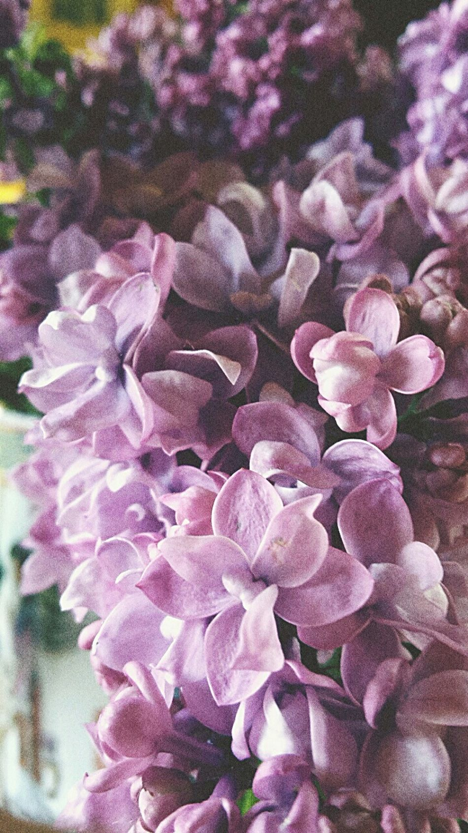 Grany's Lilac Lilac Enjoying Life May Day Moravia