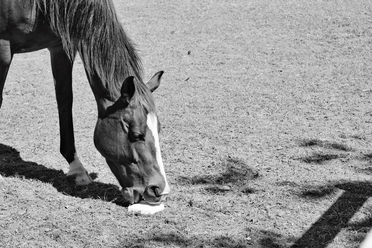 Horse On Licking Salt