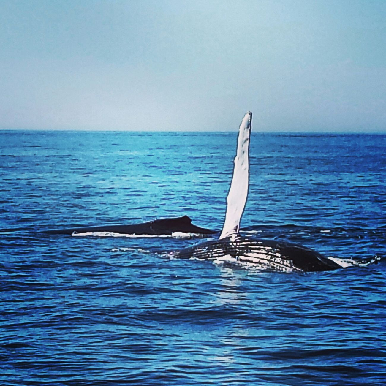 Whalewatching  Bigandbeautiful EyeEm Best Shots Itsforrealoutthere Nature Photography Wildlife Photography