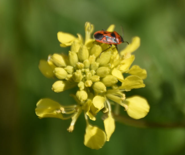 Beauty In Nature Blooming Close-up Day Feuerkäfer Flower Flower Head Focus On Foreground Fragility Freshness Growth Insect Nature No People Outdoors Petal Plant Selective Focus Yellow