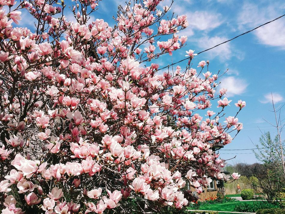 Beautiful stock photos of magnolia, Beauty In Nature, Branch, Close-Up, Day