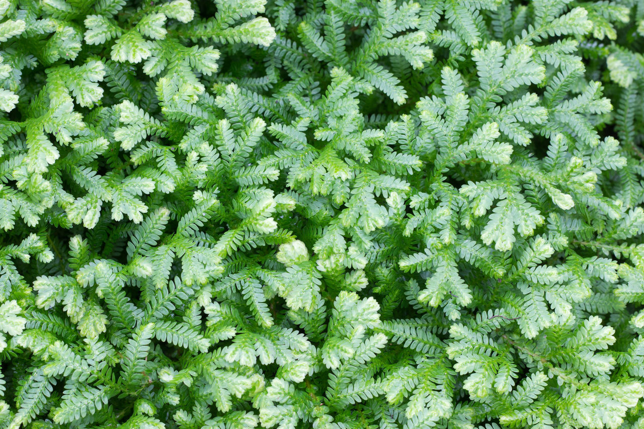 Selaginella erythropus Agriculture Autumn Background Backgrounds Beauty In Nature Field Flower Foliage, Vegetation, Plants, Green, Leaves, Leafage, Undergrowth, Underbrush, Plant Life, Flora Freshness Green Color Growth Horizon Leaf Lush Foliage Nature Nature Outdoors Plant Plant Plants Selaginella Erythropus Spring Tree Uncultivated Vibrant