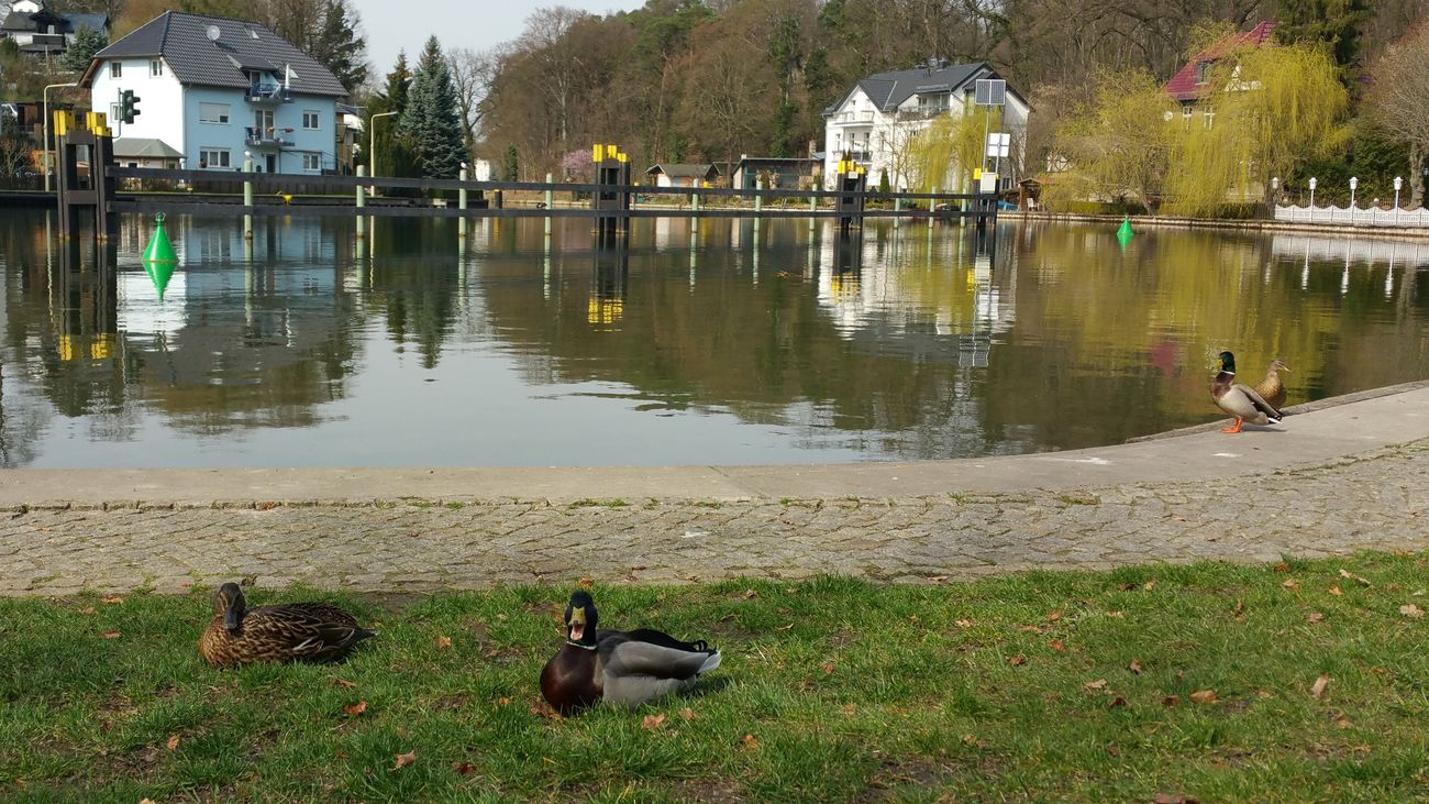 Duck in Woltersdorf Bei Berlin , Ducks Animal Animals Sea Sea And Sky Seaside Sea View Nature Nature Photography Landscape_Collection Landscape Landscape_photography ohne Filter 2016