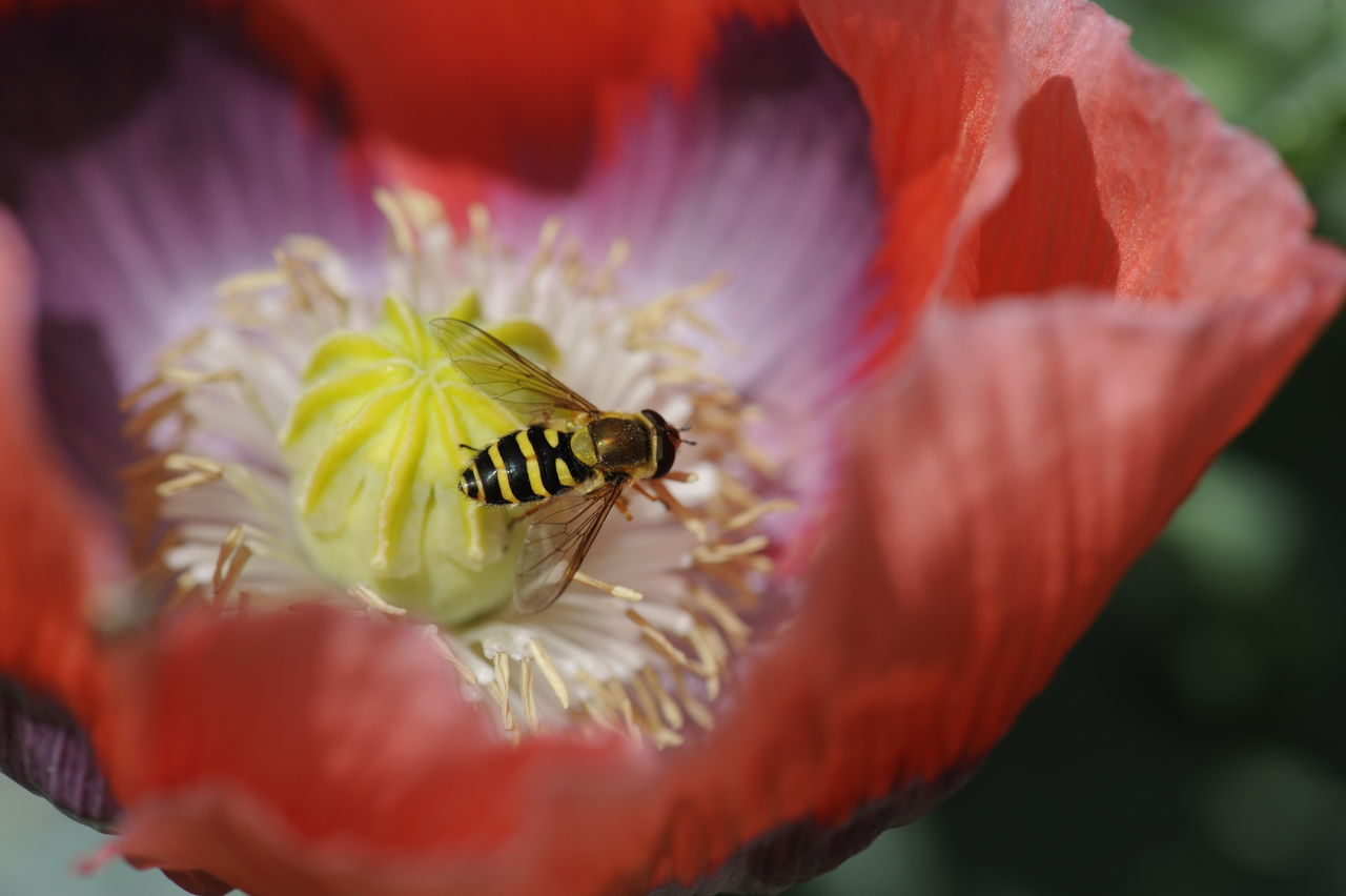 flower, one animal, animals in the wild, petal, nature, insect, animal themes, animal wildlife, close-up, flower head, beauty in nature, fragility, selective focus, growth, day, pollen, freshness, outdoors, red, plant, bee, no people, pollination