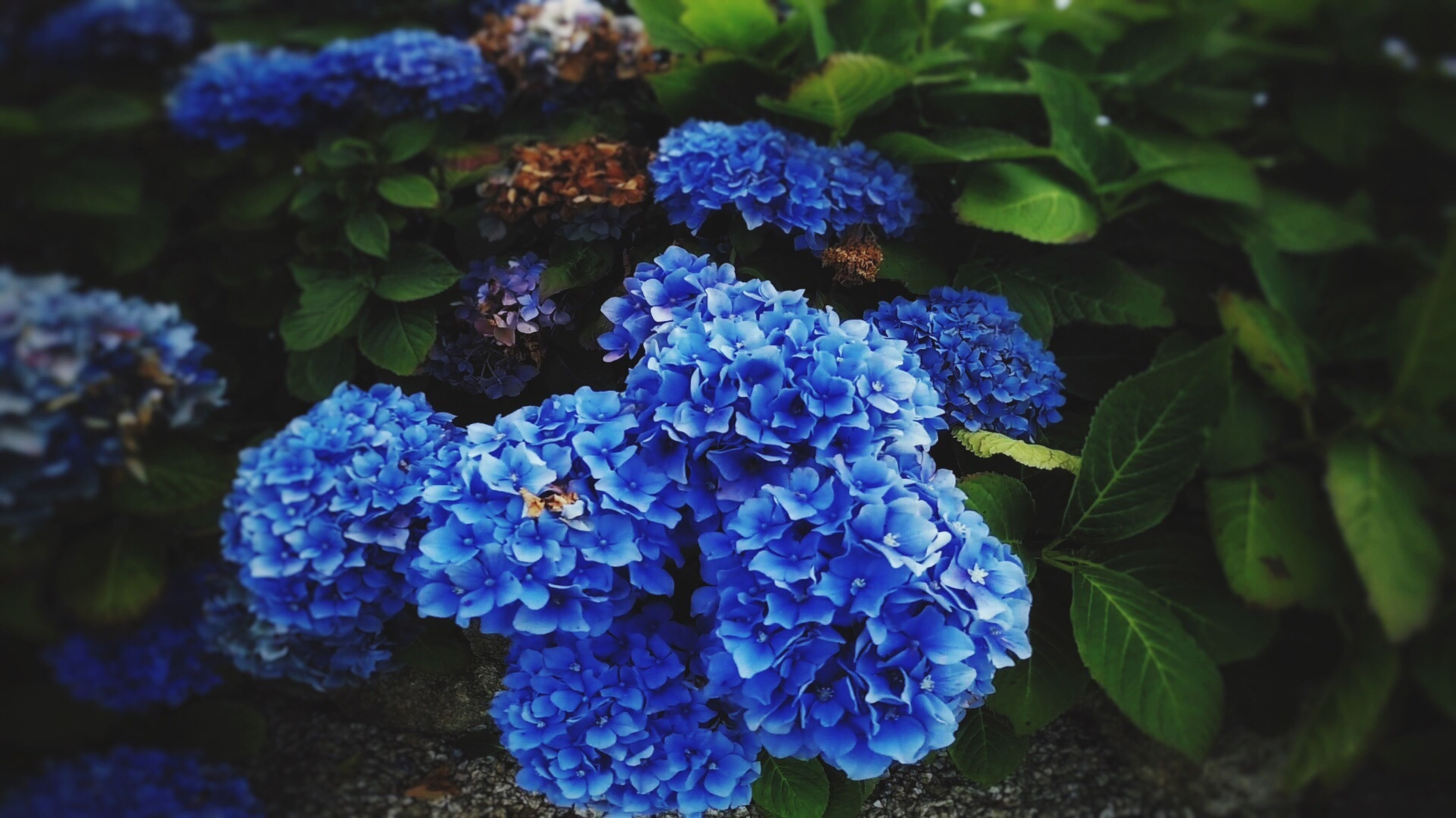 flower, fragility, freshness, blue, close-up, hydrangea, petal, beauty in nature, growth, purple, selective focus, bunch of flowers, leaf, plant, nature, in bloom, flower head, springtime, park - man made space, multi colored, blossom, vibrant color, hyacinth, botany, day, bloom, no people, blooming, green, bunch, softness, green color