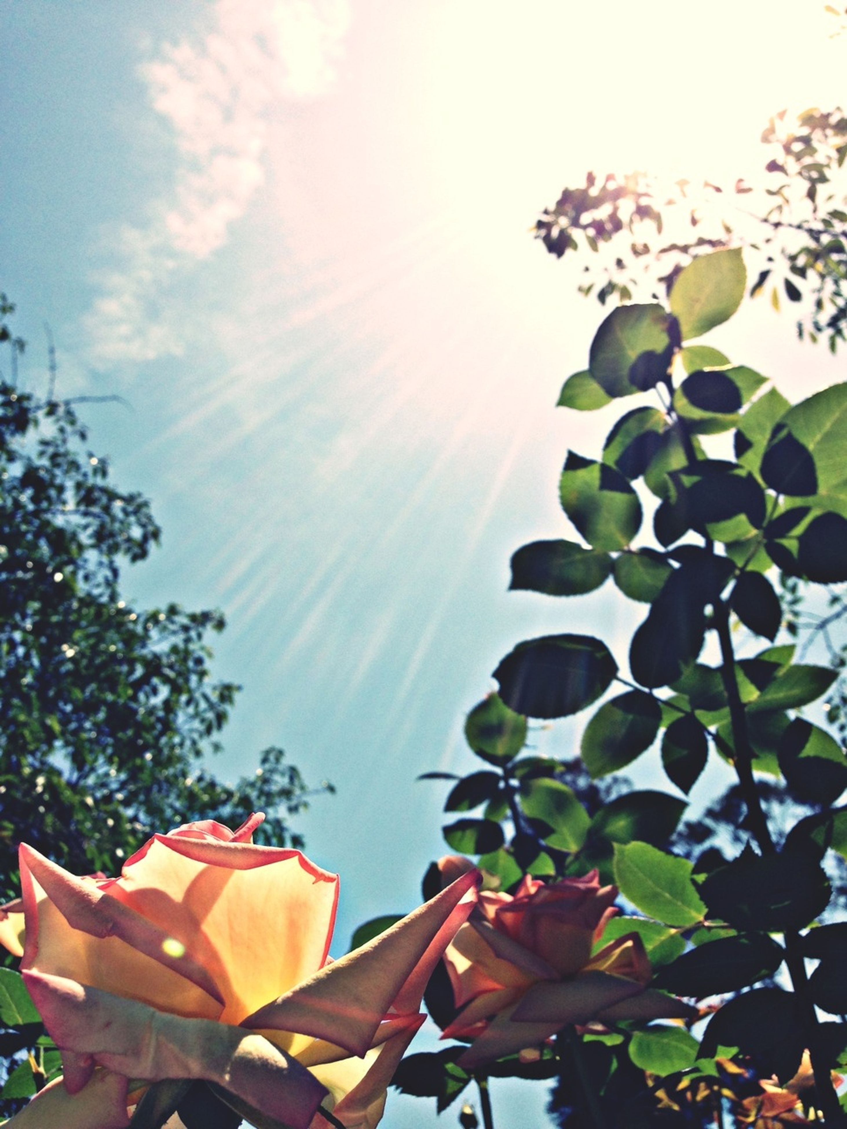 low angle view, leaf, growth, sunlight, sun, tree, sky, nature, sunbeam, beauty in nature, plant, day, sunny, outdoors, close-up, no people, fragility, flower, clear sky, tranquility