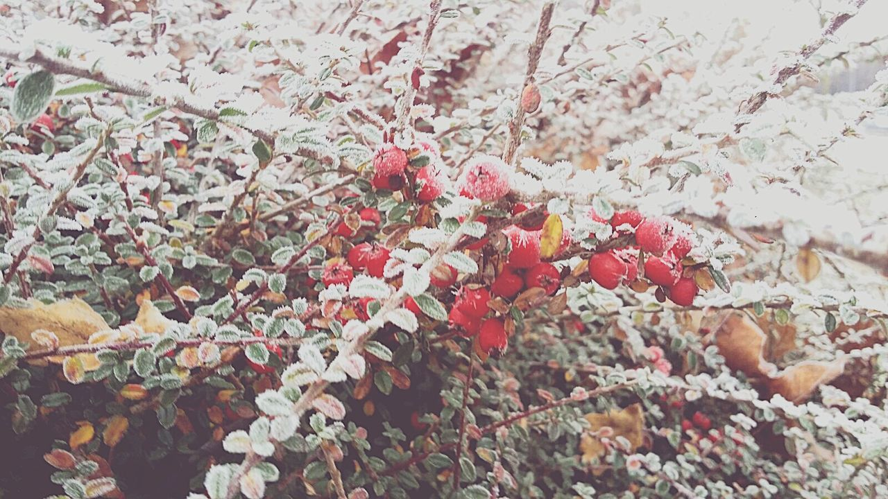 Red Winter Nature Growth Cold Temperature Snow Tree Beauty In Nature Close-up No People Freshness Rose Hip Outdoors Day Branch Rowanberry