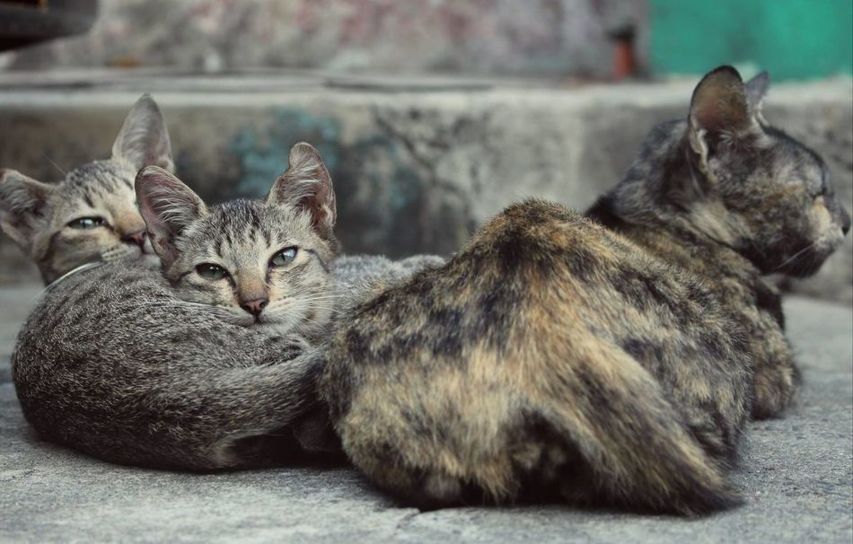 Nap time. Animal Themes Cats Close-up Domestic Animals Domestic Cat Feline Looking At Camera Mammal No People Outdoors Pets Togetherness Young Animal Cat Cat Pictures EyeEmNewHere EyeEmNewHere