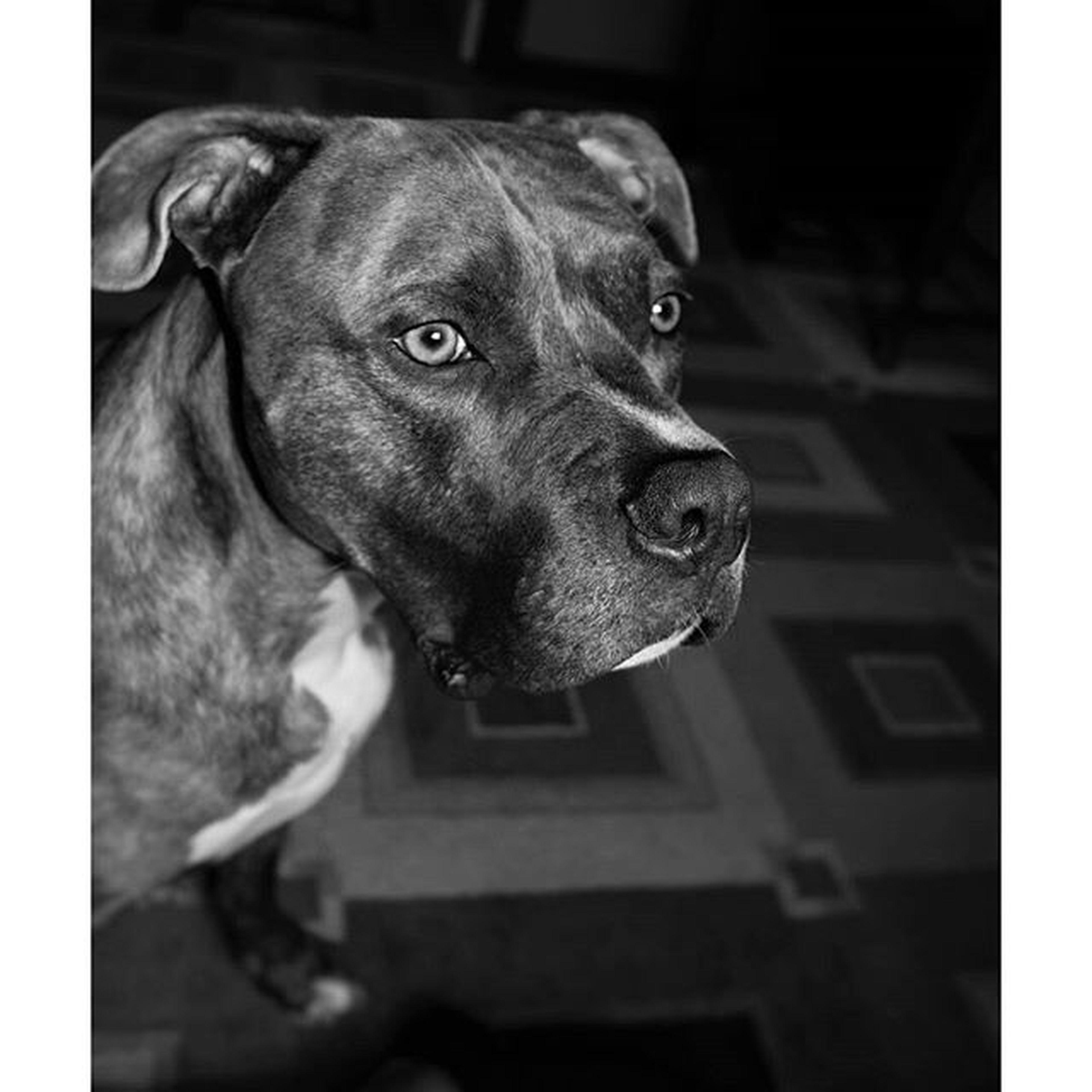 Mr. Biddy Bomp awaits her return 🐕❤ Enzothedog Pittiesofig Pitbullsofinstagram