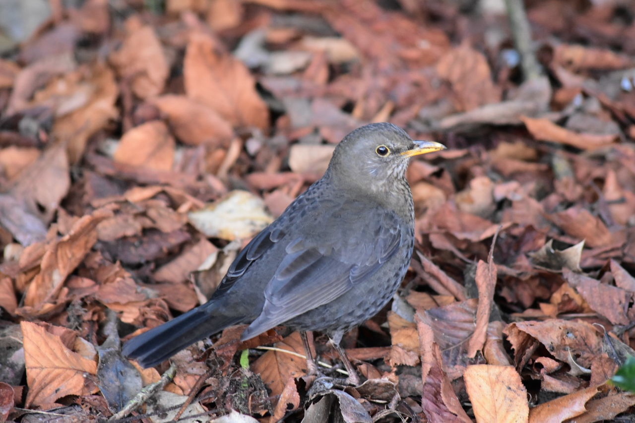 Female Blackbird Bird One Animal Animals In The Wild Animal Themes Animal Wildlife No People Outdoors Day Close-up Nature Beauty In Nature LONDON❤ Greenwich Park