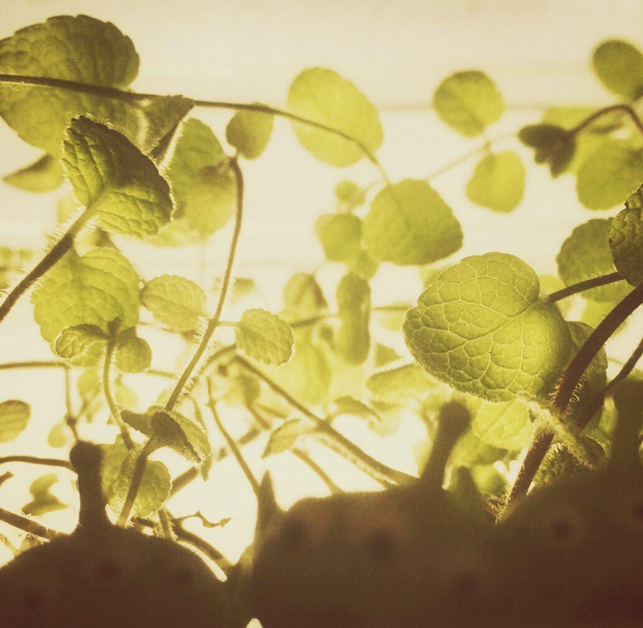 Alien Applemint Mint Mint Leaves Toystory Sunlight Leaf Plant Close-up Iphonephotography Snapseed Streamzoofamily アップルミントが瀕死の状態から元気に😌✨👍✨🎵たまに剪定するけど、剪定直後は悲しそうな状態に思える😵💦痛々しく、一時剪定辞めたけど、それはそれで伸ばしすぎも鉢植えではダメな様で、剪定後しばらくして元気になりホッとする🌝✨