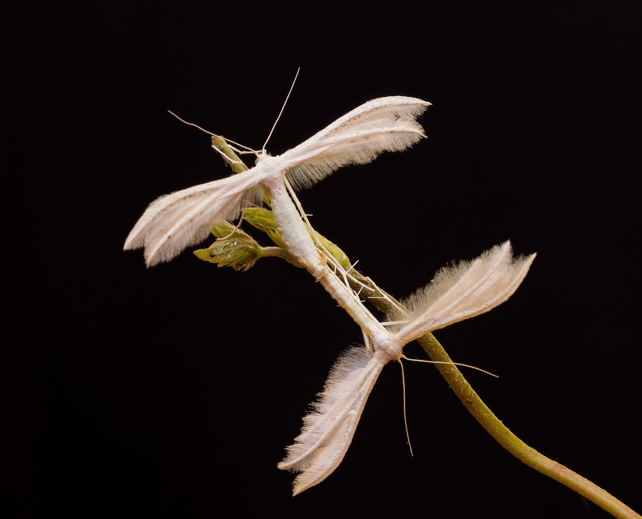White butterflies isolated on the black background Angel Angel Wings Animal Themes Animals In The Wild Black Background Butterflies Close-up EyeEmNewHere Fragility Insect Love Mating Mating Butterflies Mating Dance Nature Night No People Outdoors Plant Studio Shot White Butterfies