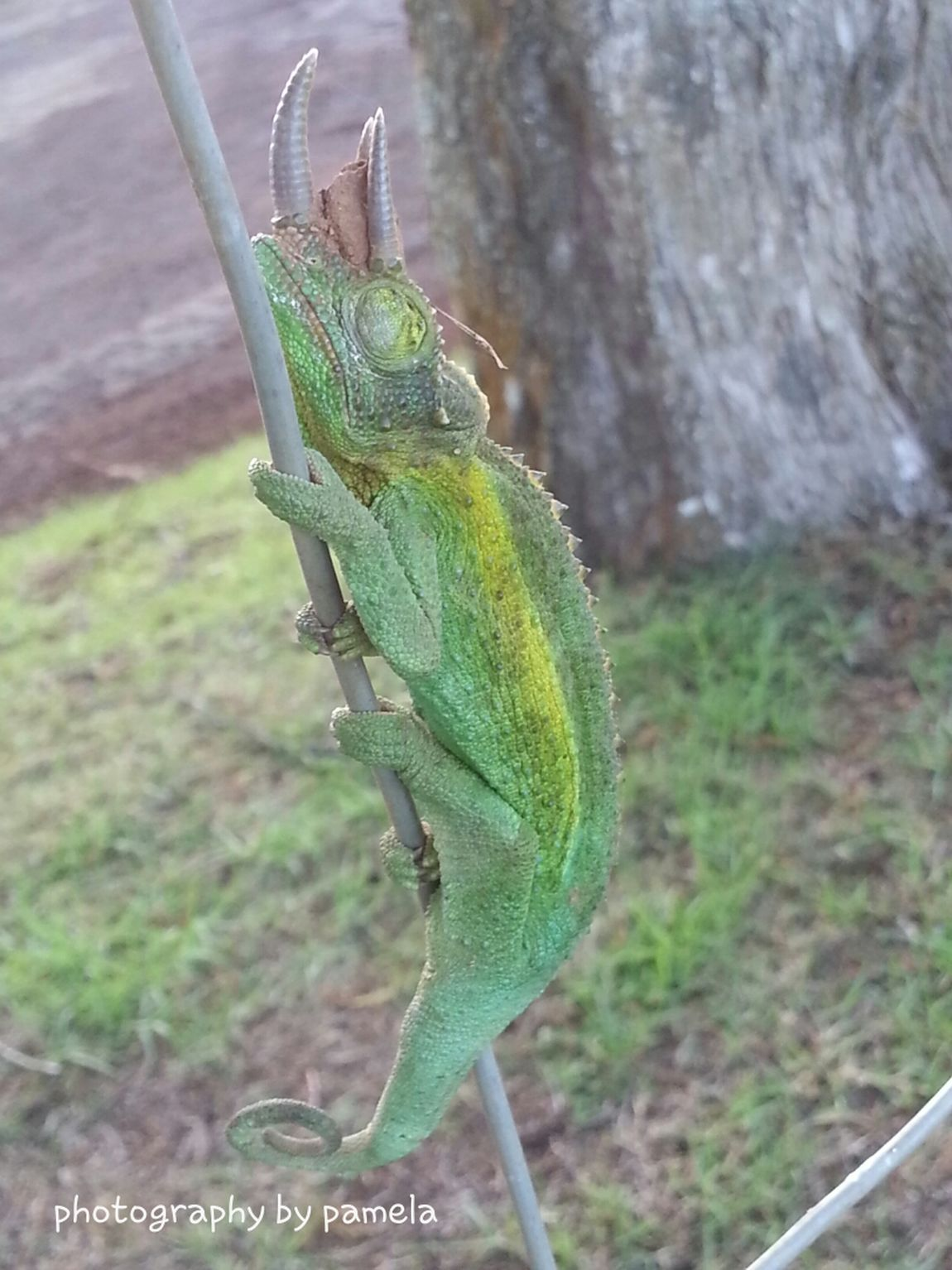 Jacksons Chameleon Hanging Out Nature First Eyeem Photo