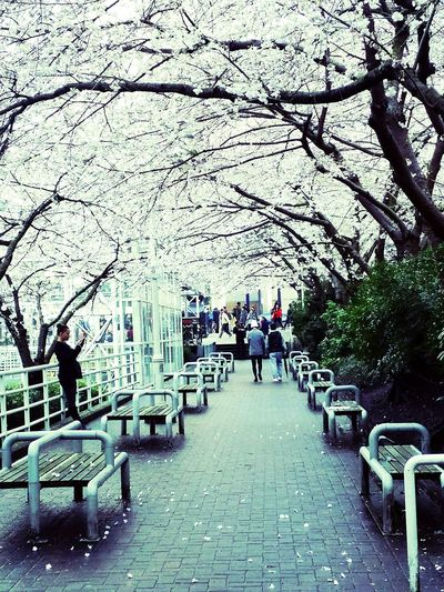 Sakura... At Burrard SkyTrain Station Taking Photos Spring Flowers