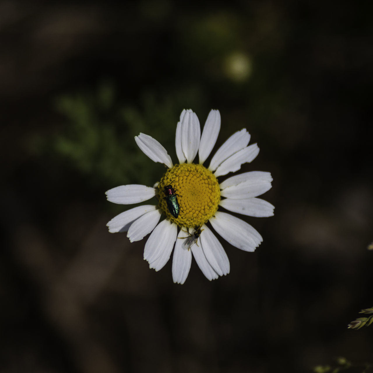 Beauty In Nature Bookeh Bug On A Flower Canonphotography Close-up Daisy Flower Flower Head Focus On Foreground Macro Nature No People Outdoors Plant Pollen Selective Focus Sigmalens White White Color Yellow