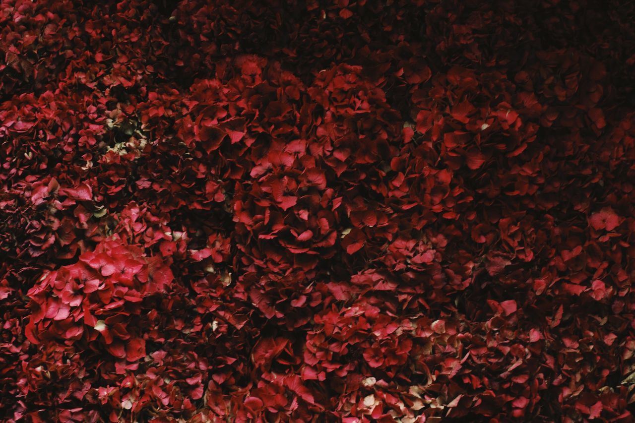 backgrounds, full frame, red, abundance, beauty in nature, petal, nature, flower, no people, fragility, leaf, autumn, close-up, night, freshness, outdoors, flower head