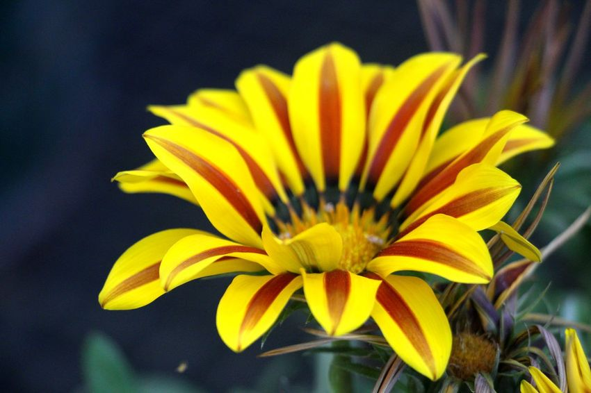 Beauty In Nature Blooming Close-up Dahlia Pinnata Flower Flower Head Fragility Freshness Freshness Gazania Growth Nature No People Petal Yellow