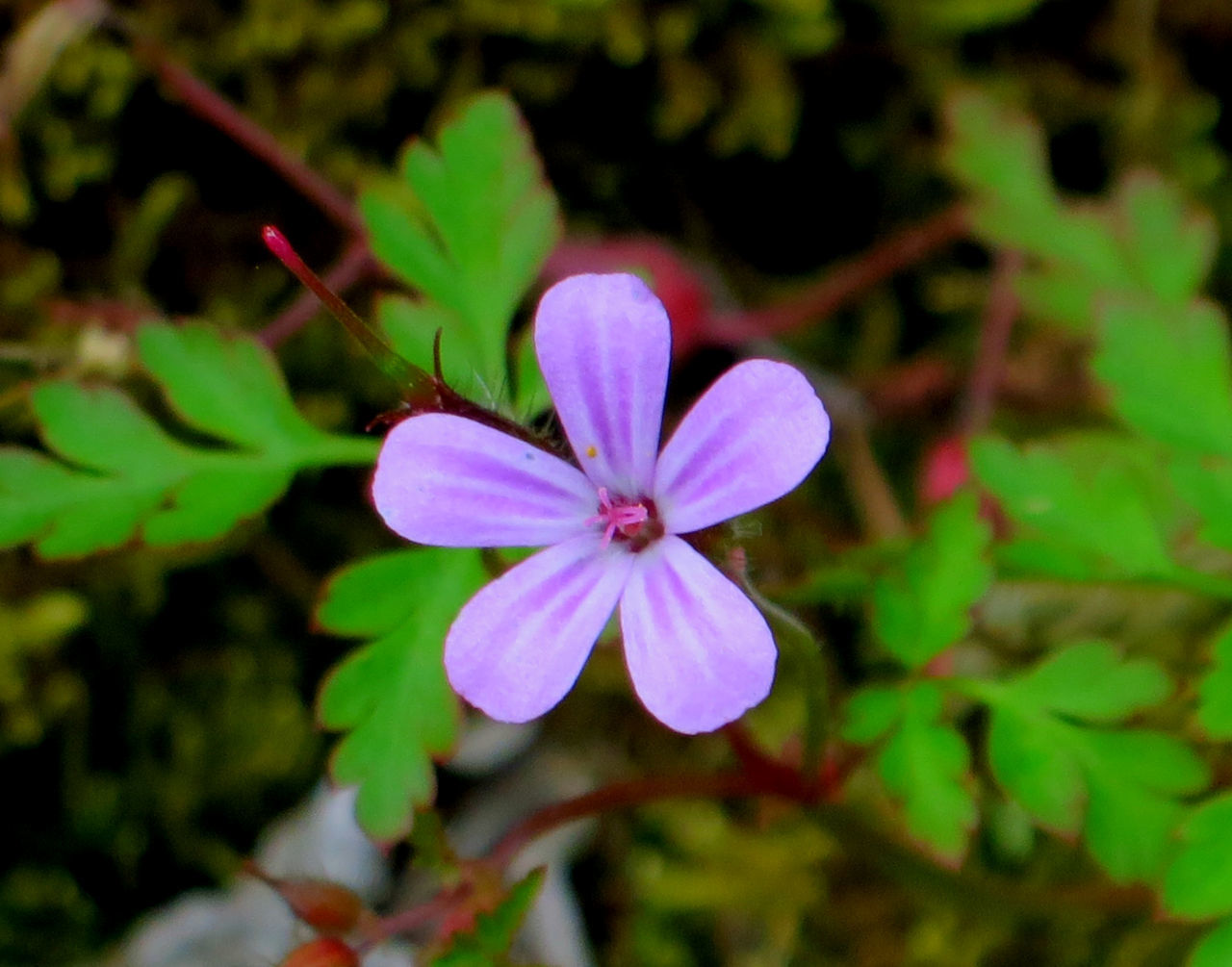 flower, petal, fragility, flower head, nature, growth, beauty in nature, freshness, plant, focus on foreground, no people, day, blooming, close-up, outdoors, leaf, periwinkle
