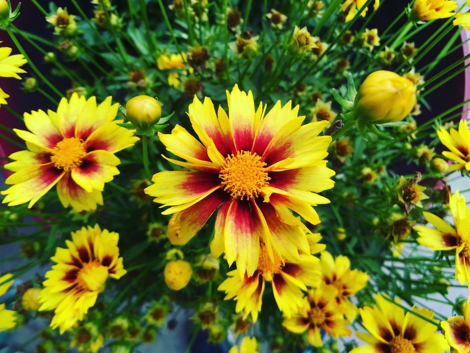 Coreopsis Coreopsis Coreopsis Grandiflora Summer Summertime Summer ☀ Summer2016 Garden Photography Garden Gardening Gardens Garden Flowers Gardensbythebay Perennial Plants Perennials Perennial Planter Perennial Sow Thistle