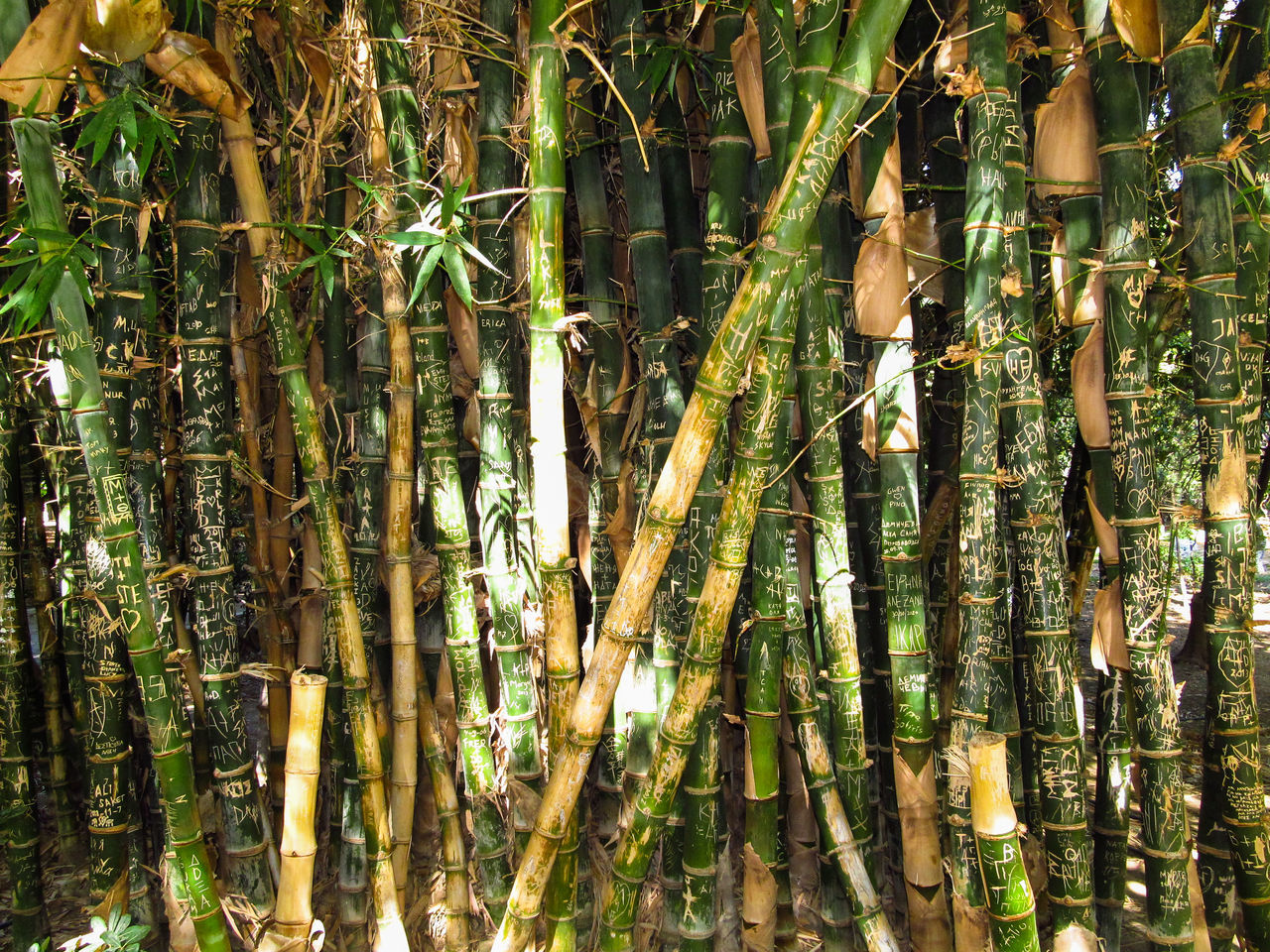 Bamboo - Plant Bamboo Grove Crete Day Growth Nature No People Outdoors Rethymno Beauty In Nature