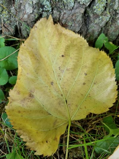 Leaf Nature Day Growth Beauty In Nature Outdoors Close-up Autumn Freshness Fragility My View Point Green Leaves☘️ Michigan Outdoors 2017 Leaf 🍂 Fall Leaves Fallen Leaf Michigan Outdoors Photograpghy  Close Up Photography Natural Beauty Grass Nature_collection Nature Photography Outdoor Pictures