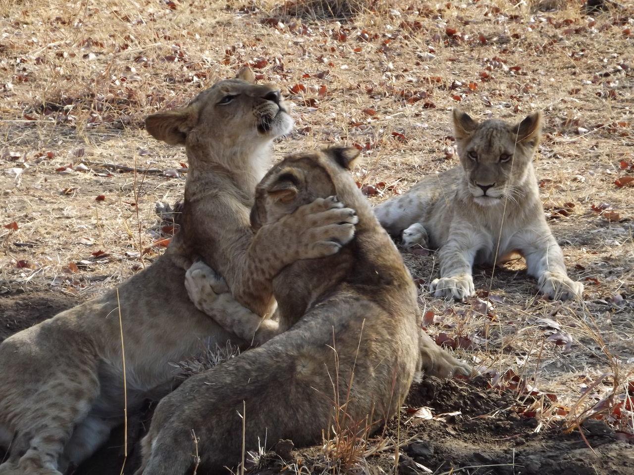 Big cats being kittens Enjoying Life Lions Cute Cats Zambia Wildlife