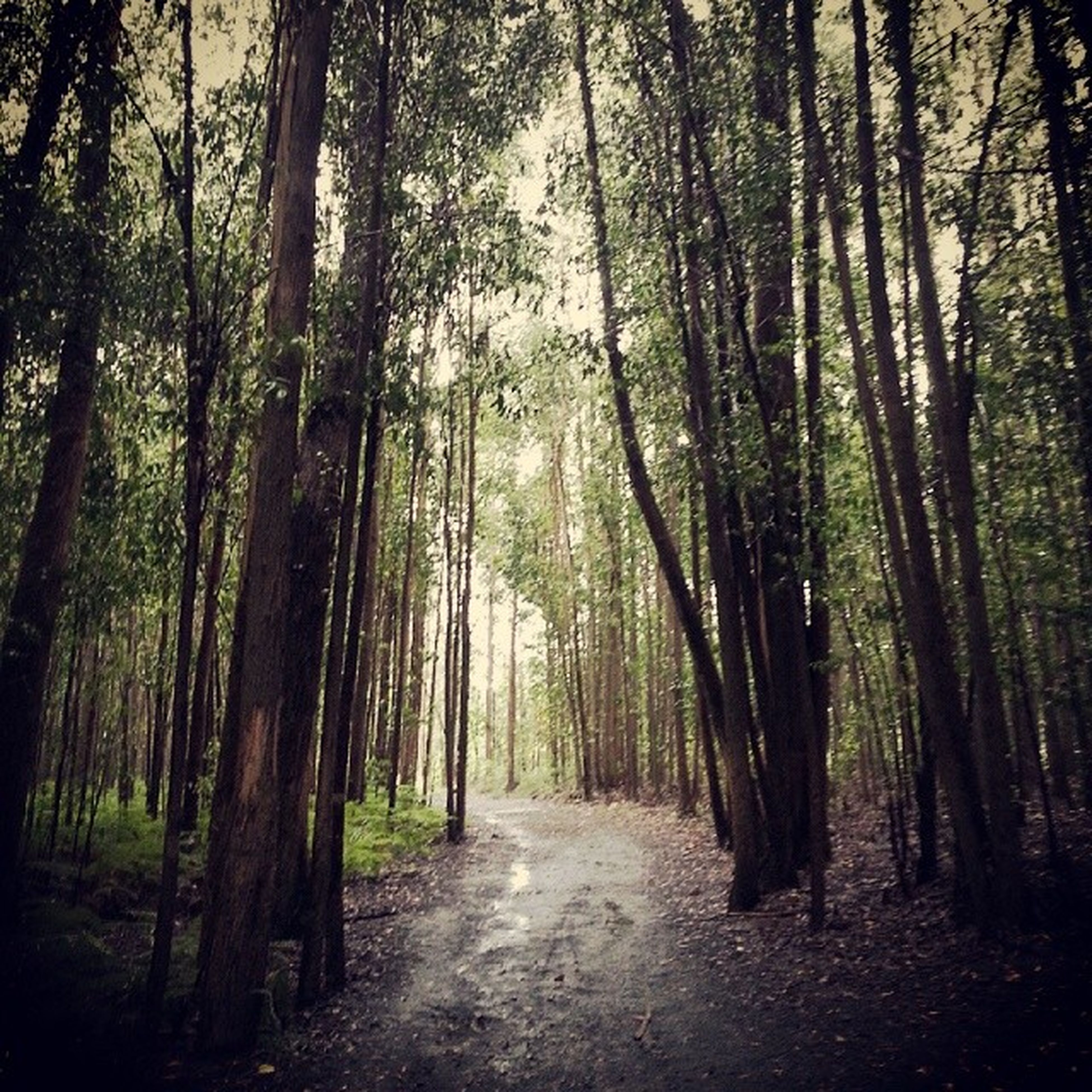tree, the way forward, forest, tree trunk, tranquility, woodland, diminishing perspective, growth, nature, tranquil scene, vanishing point, treelined, beauty in nature, dirt road, scenics, footpath, road, non-urban scene, day, outdoors
