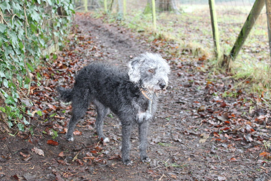 Animal Themes Bedlington Terrier Bedoodle Cheshire Davenham Day Dog Domestic Animals Full Length High Angle View Mammal Nature No People One Animal Outdoors Pet Pet Photography  Pets Pets Corner Standing Walk Walking Around Wildlife