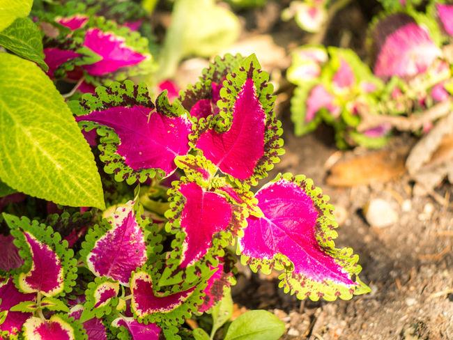 Beauty In Nature Botanical Gardens Botany Coleus Crimea Day Flora Flower Green Leaf Nature Nikita Botanical Gardens Pink Color Plant Yalta MC Helios 77M 4 Gawlet