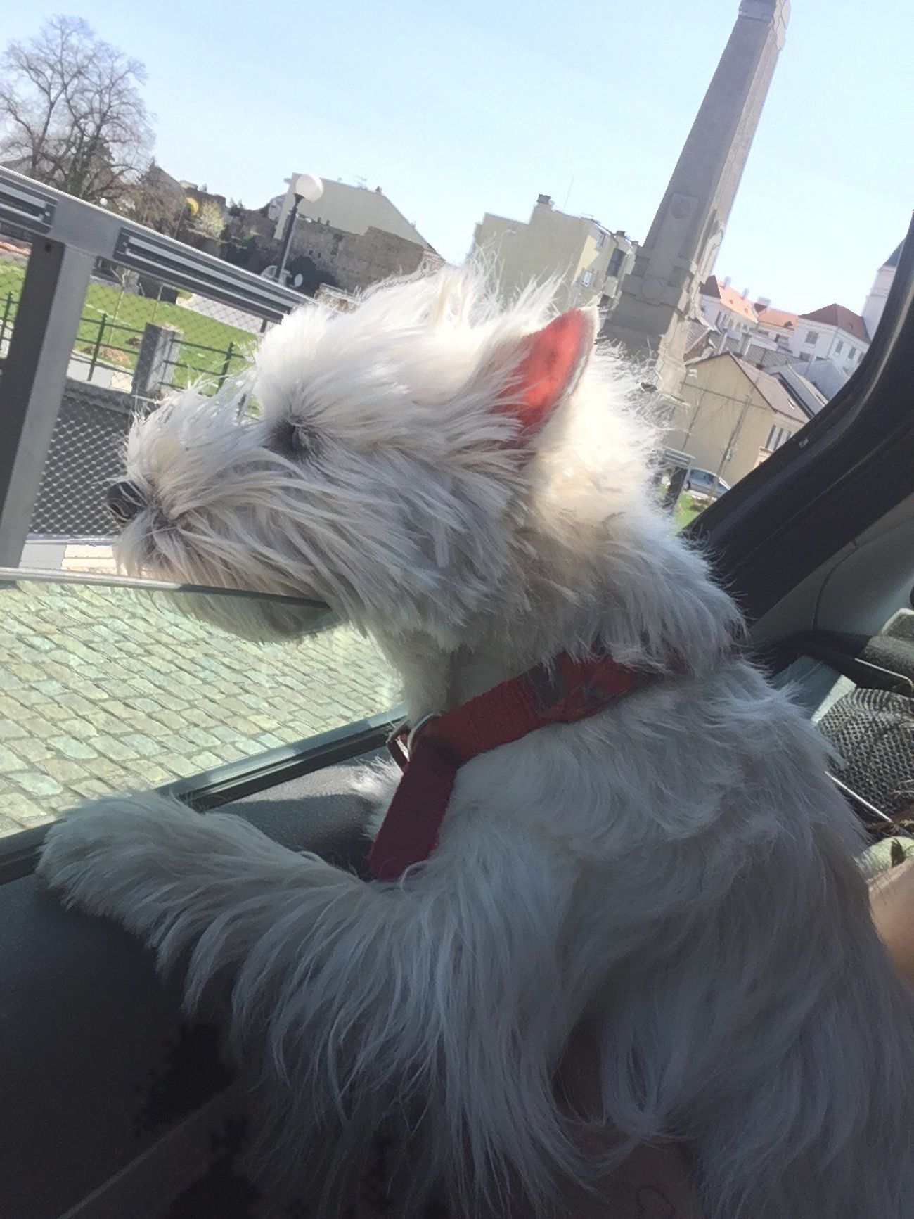 Pets Dog Springtime Spring Queen My Love Ilovemydog Pet Photography  Dogs My Dog Is Cooler Than Your Kids Westie Goodgirl Hello World In Car Dog Love I Love My Dog My Dog (null)Roxy Animal Pet Family My Girl Love Wind