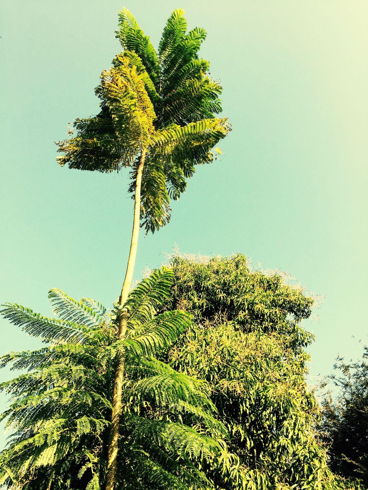 Árbol de jacaranda y bambú ..