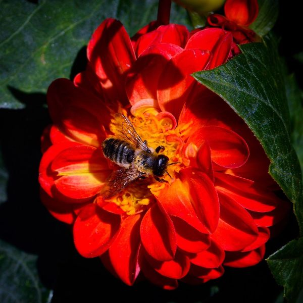 Hidden away on the day that was summer ... Flower Insect Petal Bee Nature Growth Flower Head Freshness Beauty In Nature Wildlife Honey Bee Outdoors Summer Pollen Pollination Red Yellow Flowers Leaves