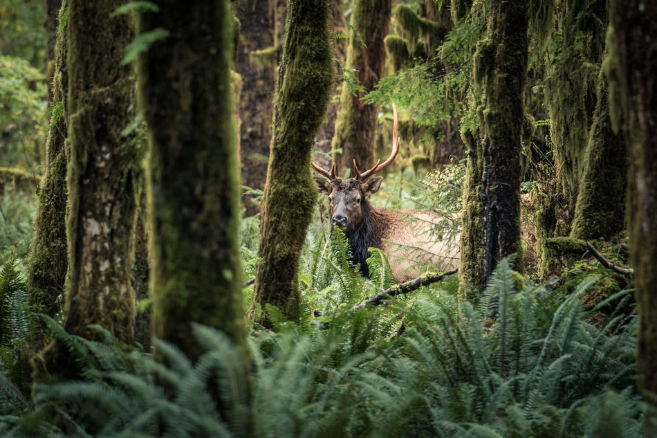 Miracle in the Woods Animal Themes Animal Wildlife Animals In The Wild Antler Beauty In Nature Capture The Moment Elk Enjoying Life Forest Mammal Nature No People Olympic National Park One Animal Outdoors Rainforest Taking Photos Travel Tree Wild Wildlife