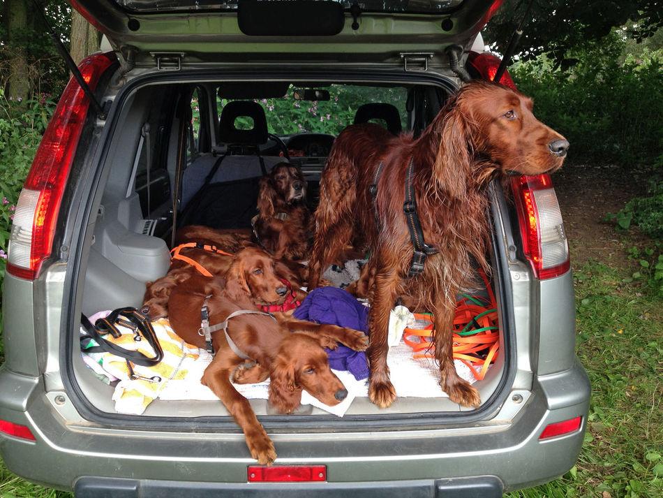 Animal Animal Themes Car Car Boot Dog Domestic Animals Family Hunting Dog Irish Setter No People Pedigree Pets Pure Breed Relaxation Sitting Two Animals