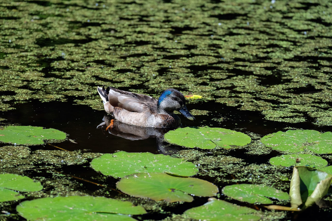 animal themes, animals in the wild, one animal, water, nature, day, leaf, floating on water, high angle view, bird, no people, lake, animal wildlife, outdoors, plant, close-up, beauty in nature, lily pad