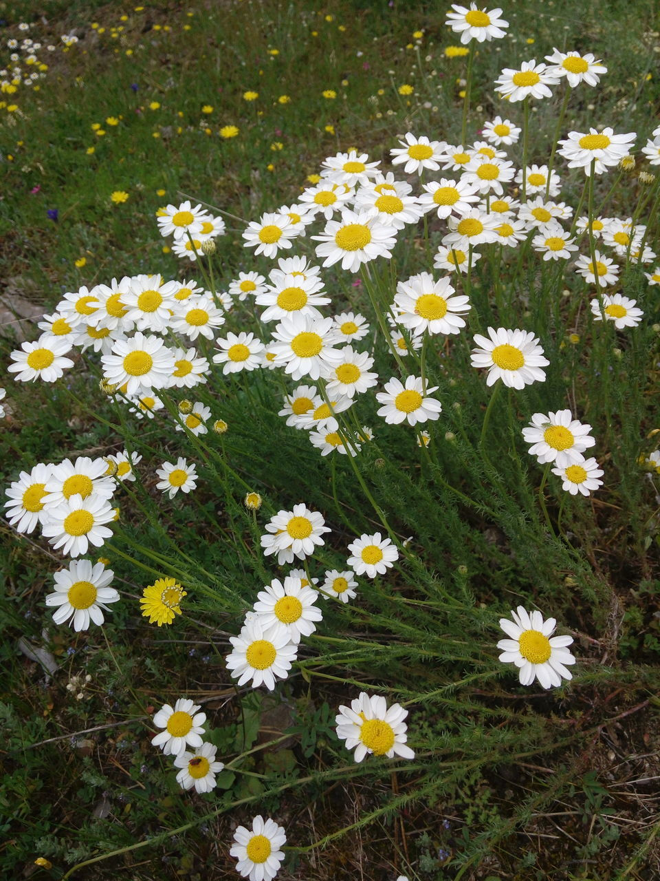CLOSE-UP OF WHITE DAISY FLOWERS BLOOMING IN FIELD