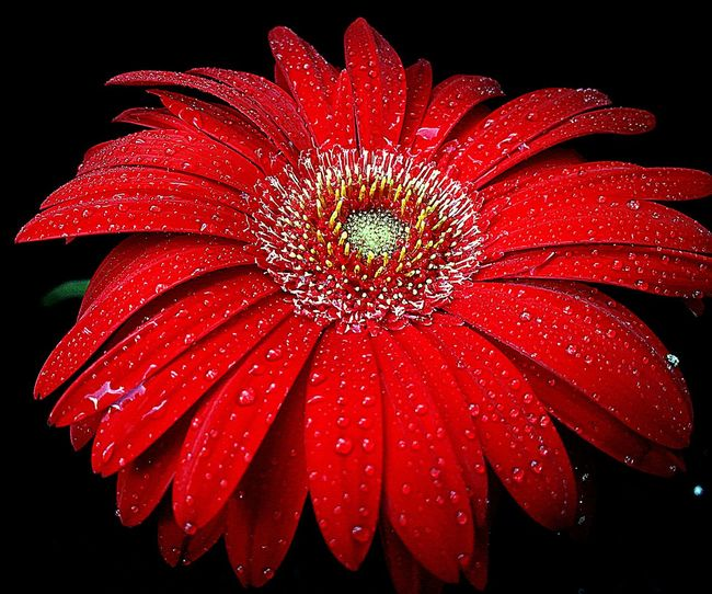 Beauty In Nature Black Background Blooming Close-up Detail Flower Flower Head Freshness In Bloom Macro Petal Red Softness Studio Shot Colour Of Life