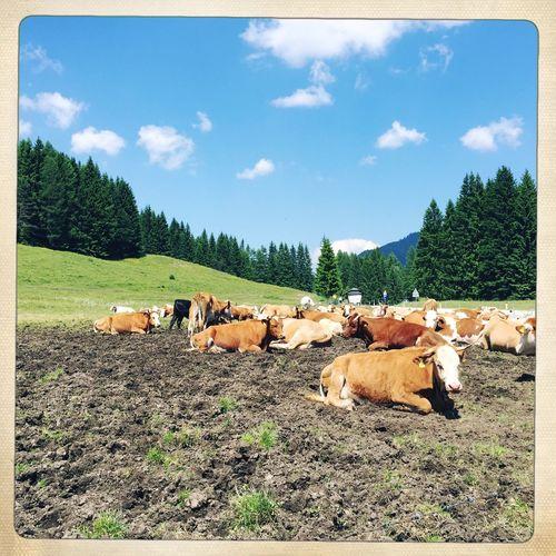Cows Austrian Cows Austria Austria ❤ Austrian Mountains Austrian Summer Animals Animal Photography Cow Relaxing Summer ☀ June June 2016