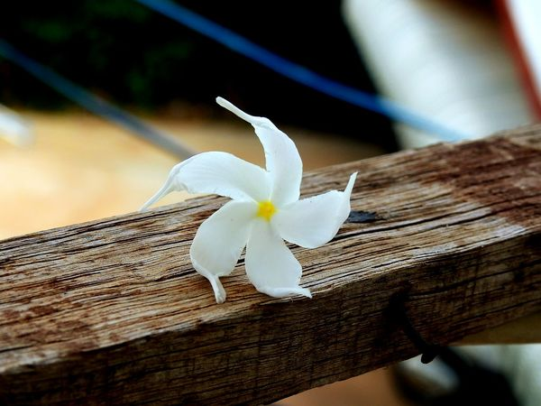 Close-up Day Flower No People Nature Fragility Flower Head Outdoors White Flower Flowers, Nature And Beauty Blossom Beauty In Nature Nature Petal White Star Flower Star Flower Frangipani
