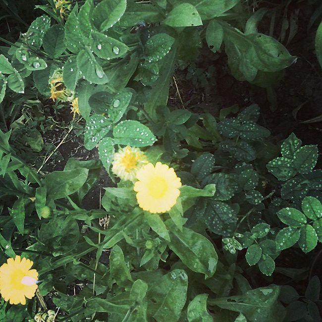 куст_розы календула цветы_календулы роса Природа лето