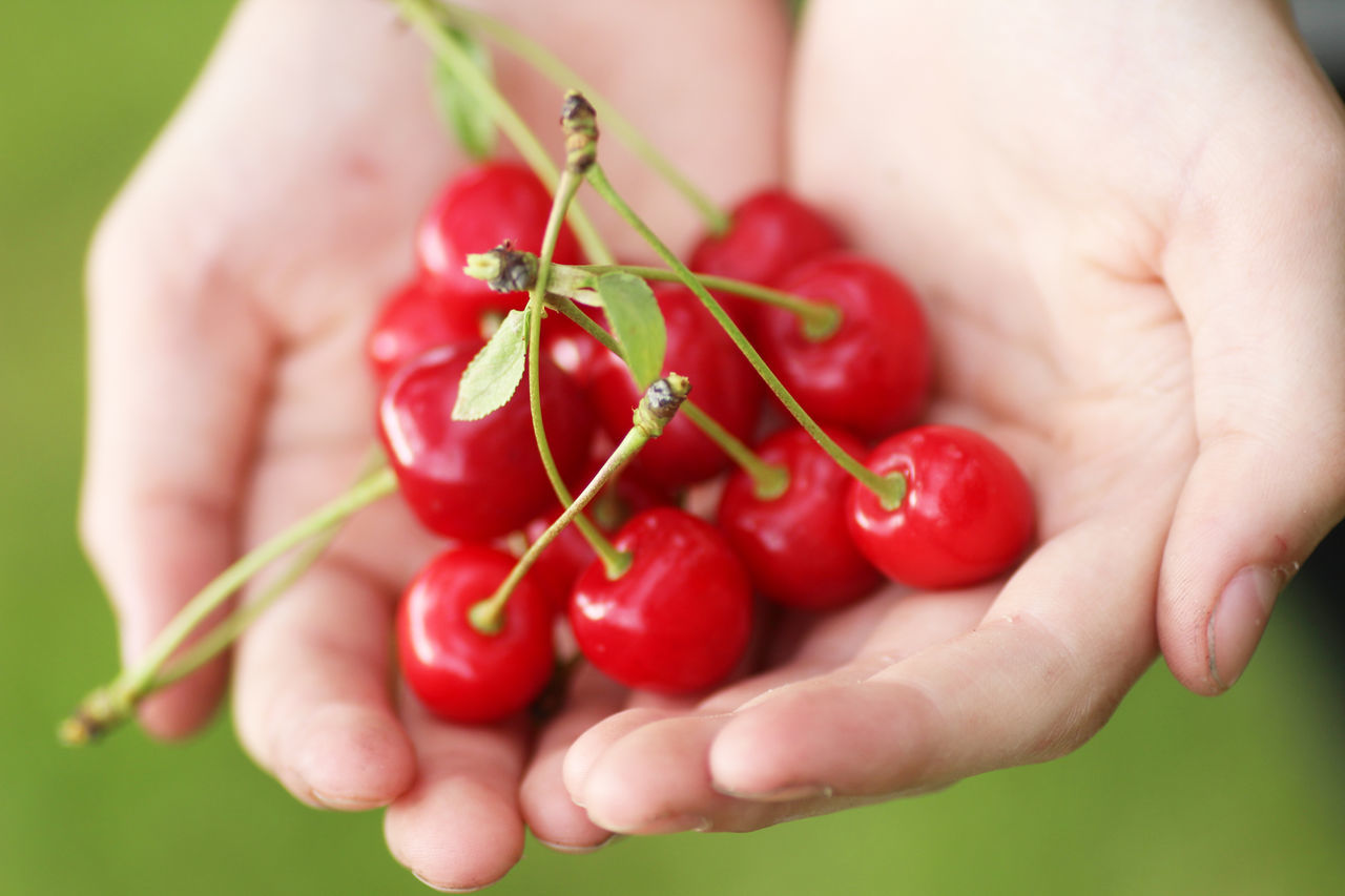 red, human hand, human body part, one person, holding, fruit, food and drink, food, cherry, real people, healthy eating, close-up, focus on foreground, outdoors, lifestyles, freshness, day, nature, people