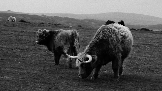 Long Horn Cattle in Landscape Abundance Animal Themes Arid Climate Arrangement Brown Close Up Close-up Day Directly Above Full Frame Heard Hearding Highland High Land Cattle Cows Bull Calfs Long Haired Landscape Dartmoor Bracken Weathered Weather Storm Stormy Wind Windswept Inclement Wet Rain Rainy Bad Horn Horned Horny Mist Misty Cloud Clouds Cloudy Large Group Of Objects Looking No People One Animal Relaxation Relaxing Side By Side Togetherness Working Zoology